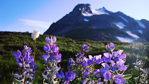 Purple wildflowers with an ice-capped mountain in the distance