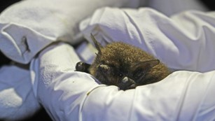 Gloved hands holding a California myotis bat