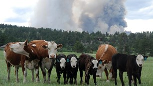Cows in a field look at the camera, while a large plume of smoke rises in the background.