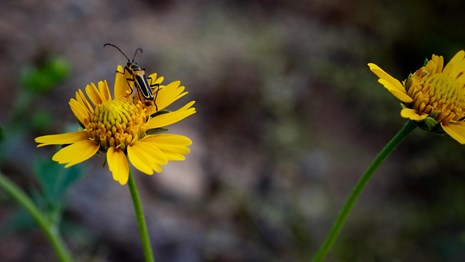 A close up of a yellow aster flower with a beetle crawling on it.