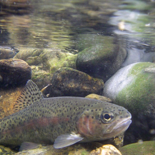 underwater image of a small trout in a shallow, rocky river