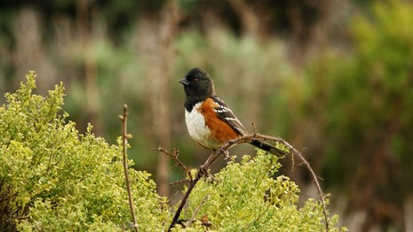 Spotted towhee perches on a bush.