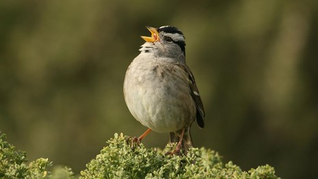 White-crowned sparrow perched on branch.
