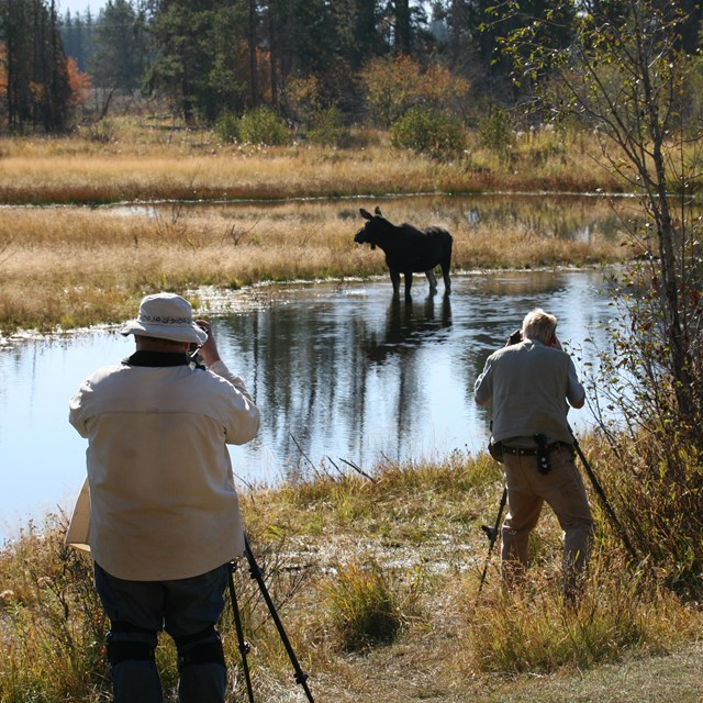 Visitors photograph a moose in a pond.
