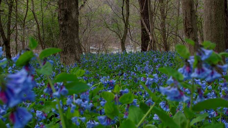 Virginia bluebells - bluish purple flowers amidst trees near the river
