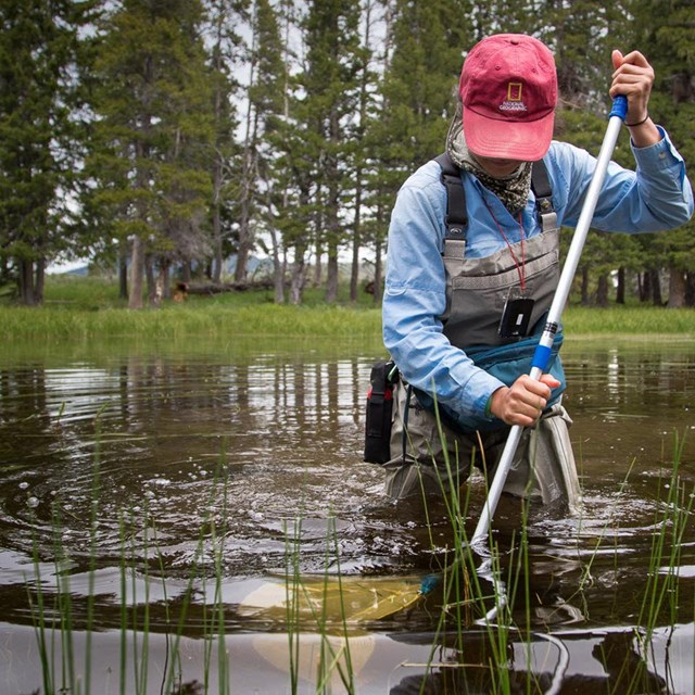Biologist in a shallow lake netting aquatic insects