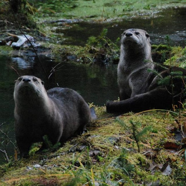 Photo of two otters looking at the camera