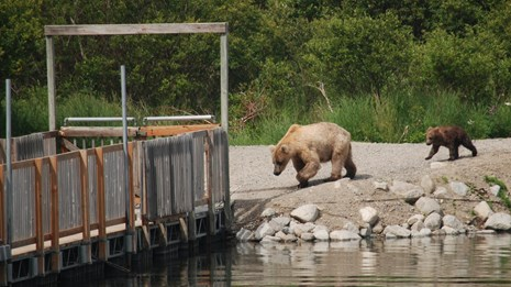 Two bears in front of a floating wooden bridge