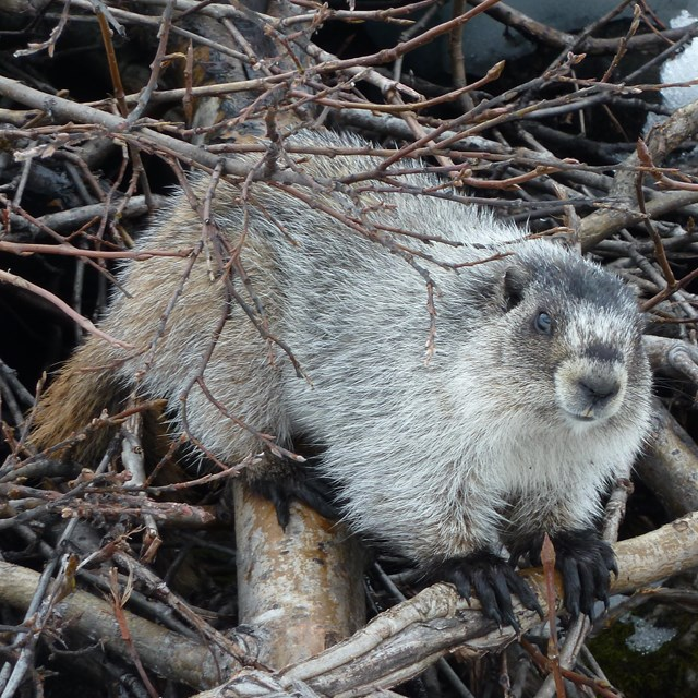 A hoary marmot stands on a pile of branches.