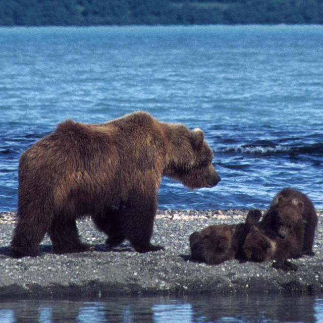 Brown bear sow and cubs along the water