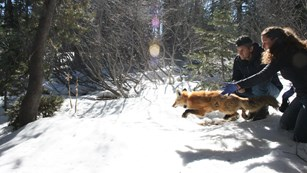 A man and women release a red fox into a snow-covered forest