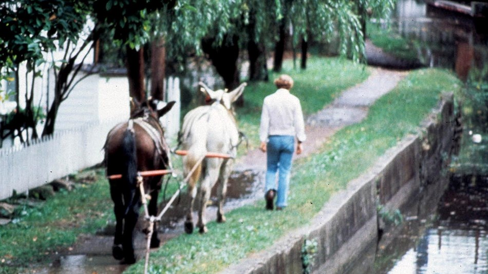 Mules pull a barge from the towpath