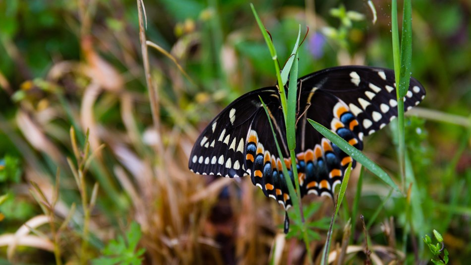 a black butterfly with orange and blue markings clings to a blade of grass