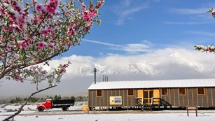Pink-blossomed tree in front of a a trailer building and truck in a snow-covered desert