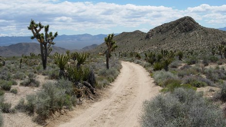 A dirt road leads off through the desert, next to a tall yucca tree.