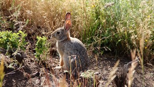 A rabbit sits under a bush in morning light.