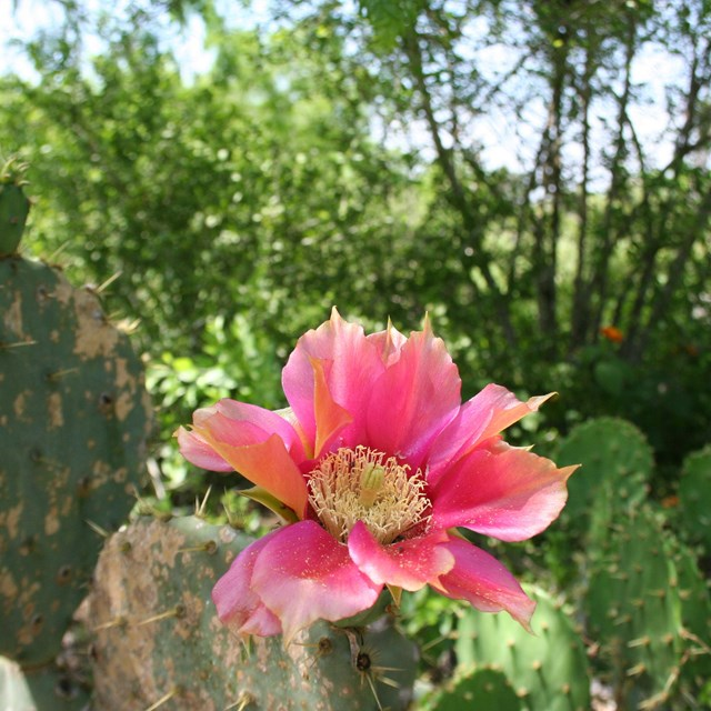 Prickly pear cactus with a pink bloom