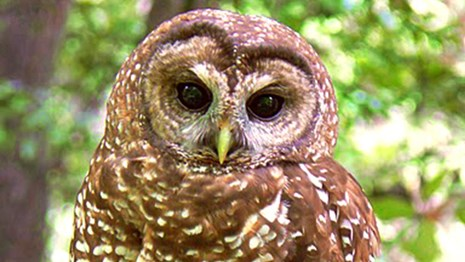 Close-up of northern spotted owl.