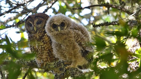 Adult northern spotted owl and fledgling perched on branch.