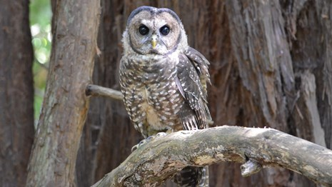 Adult northern spotted owl on a branch