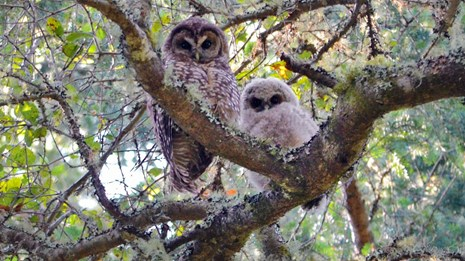Northern spotted owl adult with fledgling