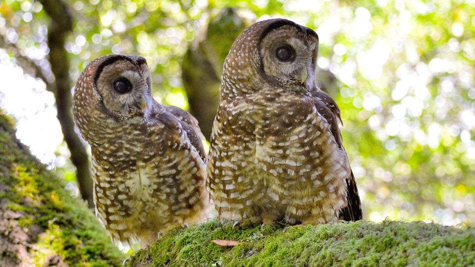 Two adult northern spotted owls looking to the side at the same time