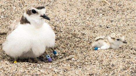Western snowy plover parent brooding one chick as another chick looks on