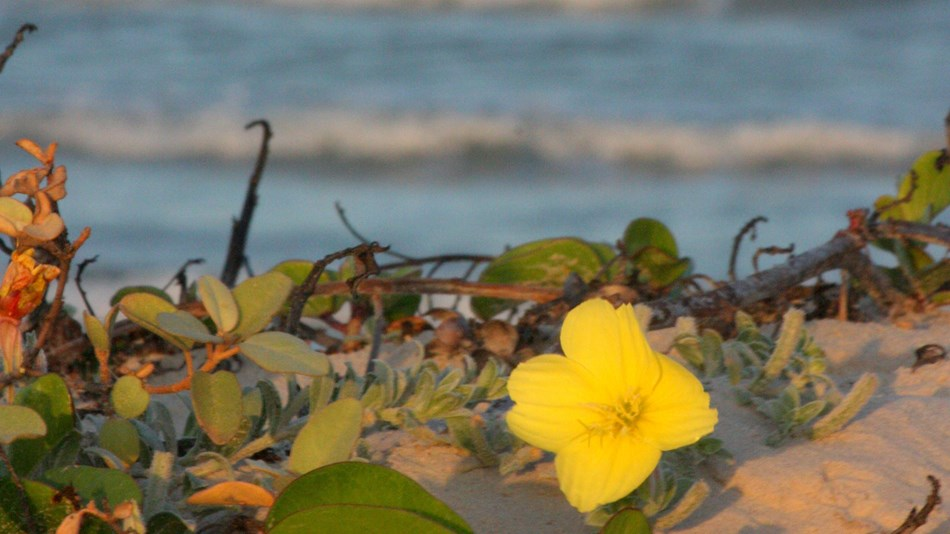 Beach evening primrose is illuminated by the setting sun with the waves of the Gulf behind.