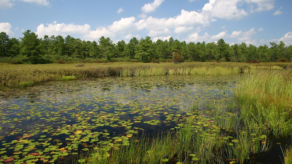 Large pond surrounded by a thick line of pine trees