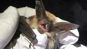 Close up of bat in the white-gloved hands of a biologist.