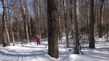 Cross Country Skier winding his way through the trees on one of the park's many groomed ski trails.