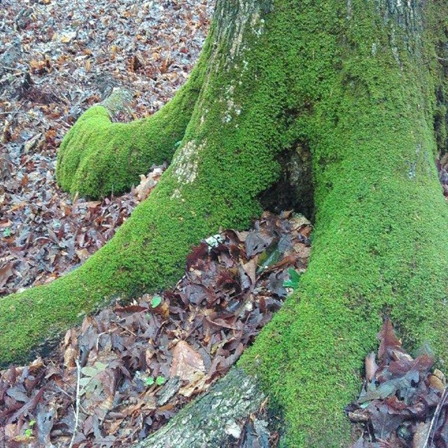 Moss on the root of a tree
