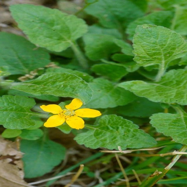 Small yellow flower surrounded by lots of green leaves
