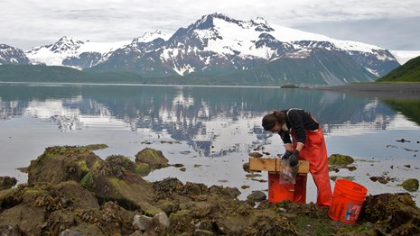 Scientist studying intertidal animals in front of snowy peaks