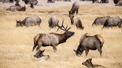 A bull elk stands among a harem of cows in a fall-colored field of grass.