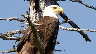 Bald eagle in a tree.