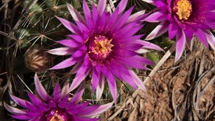 Spiney star cactus in full bloom with pinkish flowers.