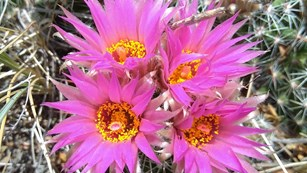 A cluster of four bright pink ball cactus flowers.