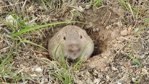 A prairie vole pops its head out of a burrow.
