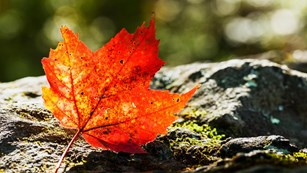 A bright orange maple leaf on top of a rock in the woods