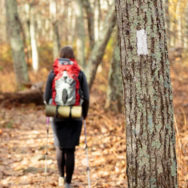 A woman hikes on a trail in the woods past a tree with a white blaze painted on it.