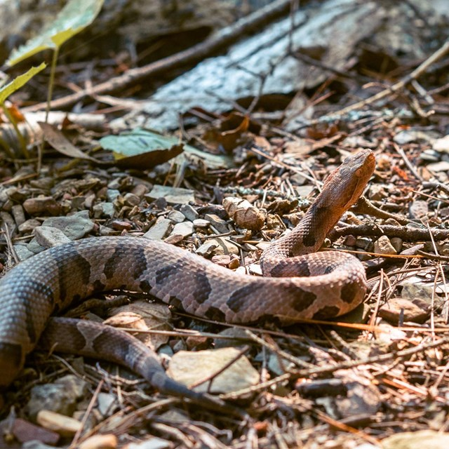 A brown copperhead snake suns itself on top of a pile of brown leaves.