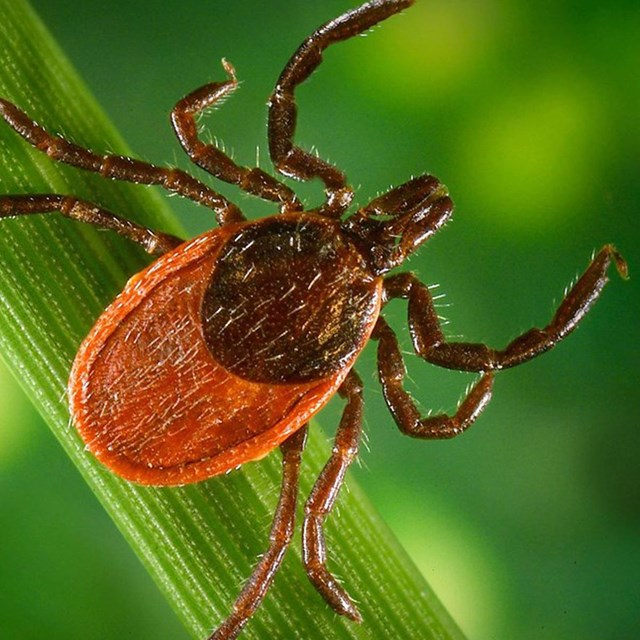 A close up of a brown tick on a green blade of grass.