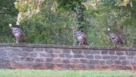 Wild turkeys perch of the national cemetery wall.