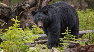 a black bear in the forest