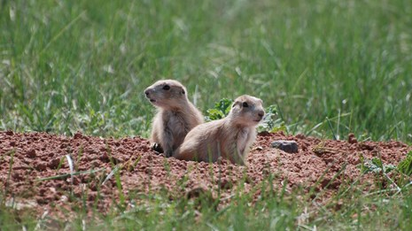 two young prairie dogs sitting at the entrance to a burrow in the prairie
