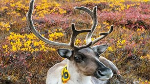 Caribou tagged for research