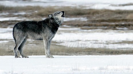 A wolf standing on a snowy bank near brown grass howls