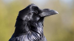 Profile of a raven's head and chest