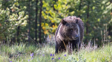 Photo of a grizzly bear in a green meadow